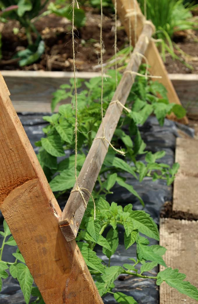 strings on DIY tomato trellis, works better than tomato cages