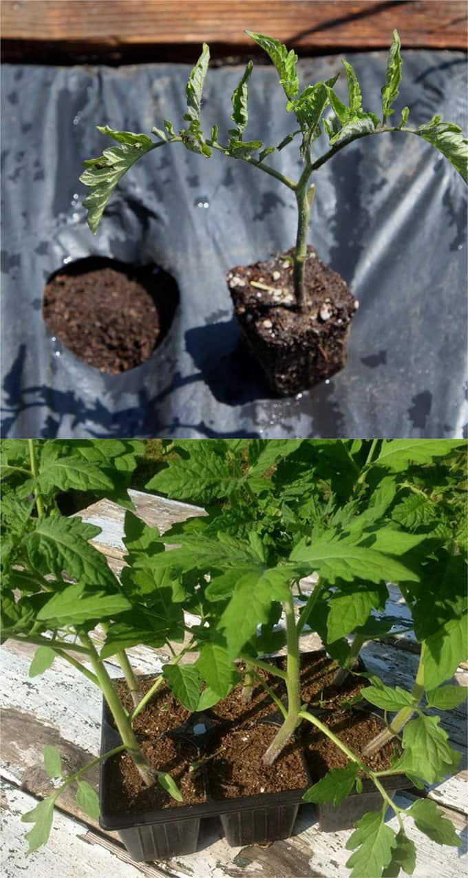 plant tomato seedlings under plastic mulch