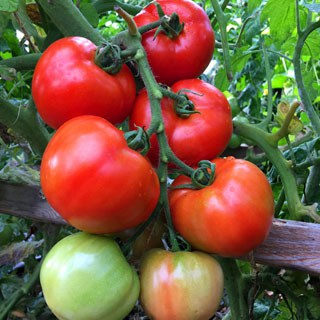 5 tried-and-true techniques we learned on how to grow tomatoes like an expert and get a big harvest: over 100 lbs in 20 square feet! - A Piece Of Rainbow