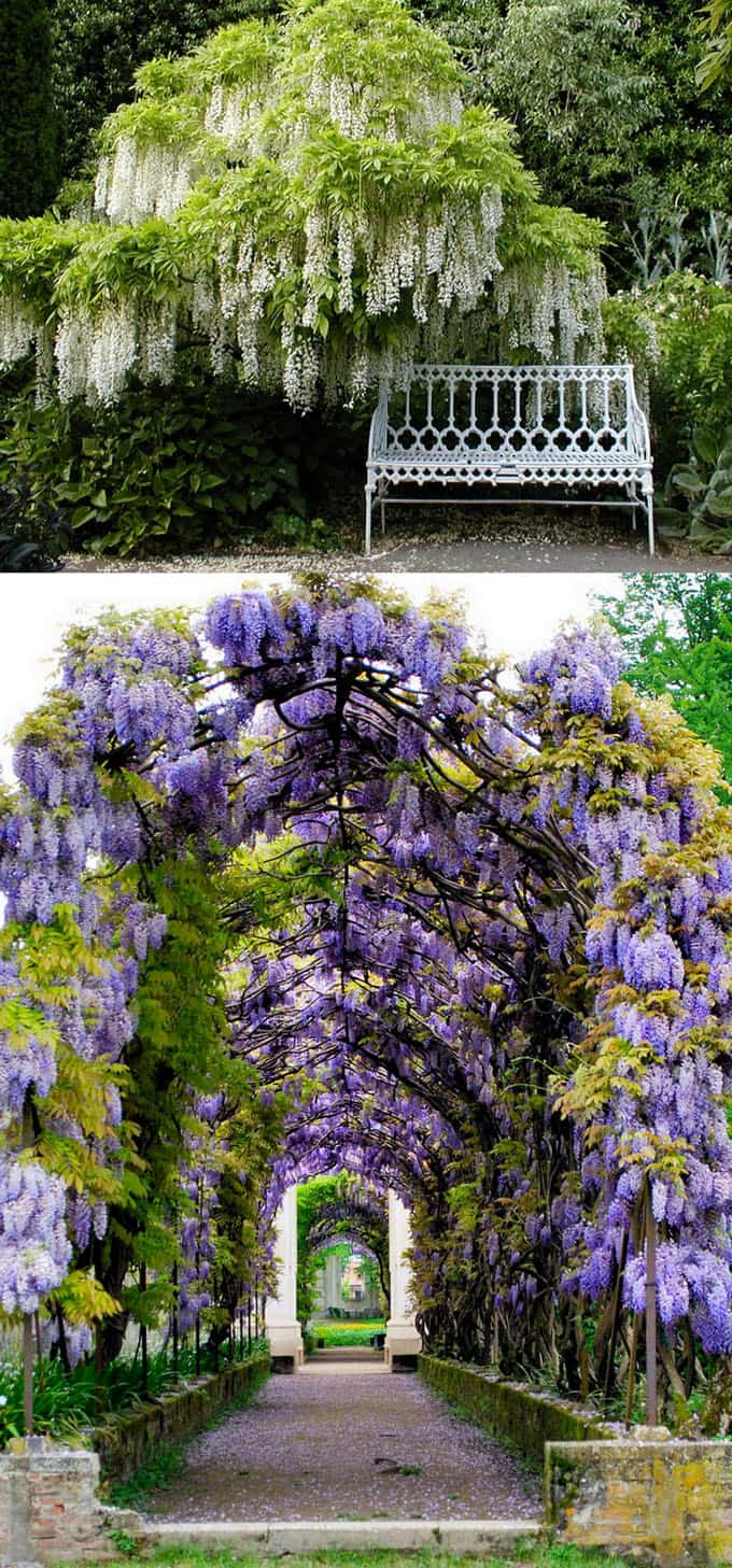 20 favorite flowering vines and climbing plants a piece of rainbow one of the first to flower in early spring the wisteria is a fast growing flowering vine that mightylinksfo