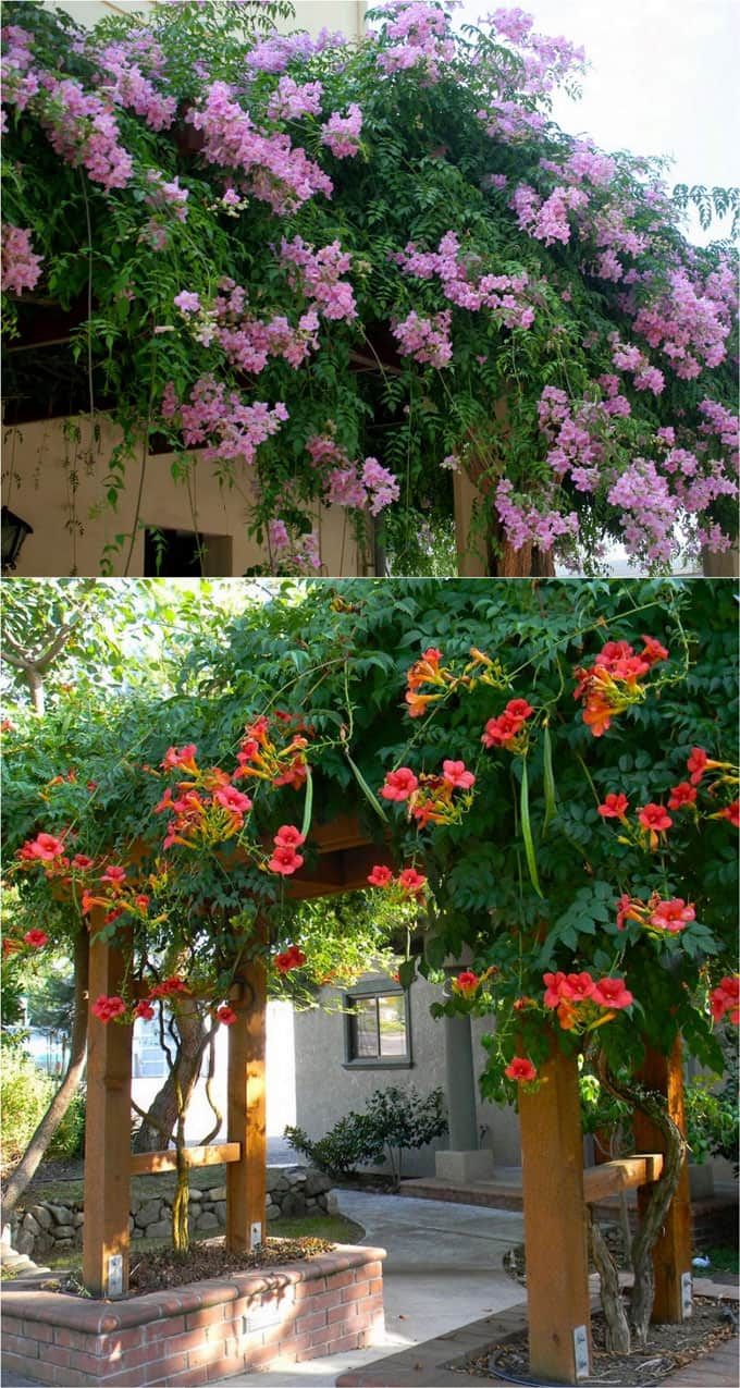 20 favorite flowering vines and climbing plants page 2 of 2 a both trumpet vines red trumpet vine campsis radicans and lavender trumpet vine clytostoma callistegioides are great plants for covering a fence and mightylinksfo