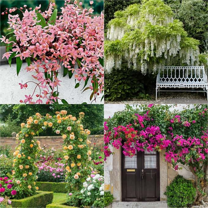 20+ favorite easy-to-grow fragrant flowering vines for year-round beauty.