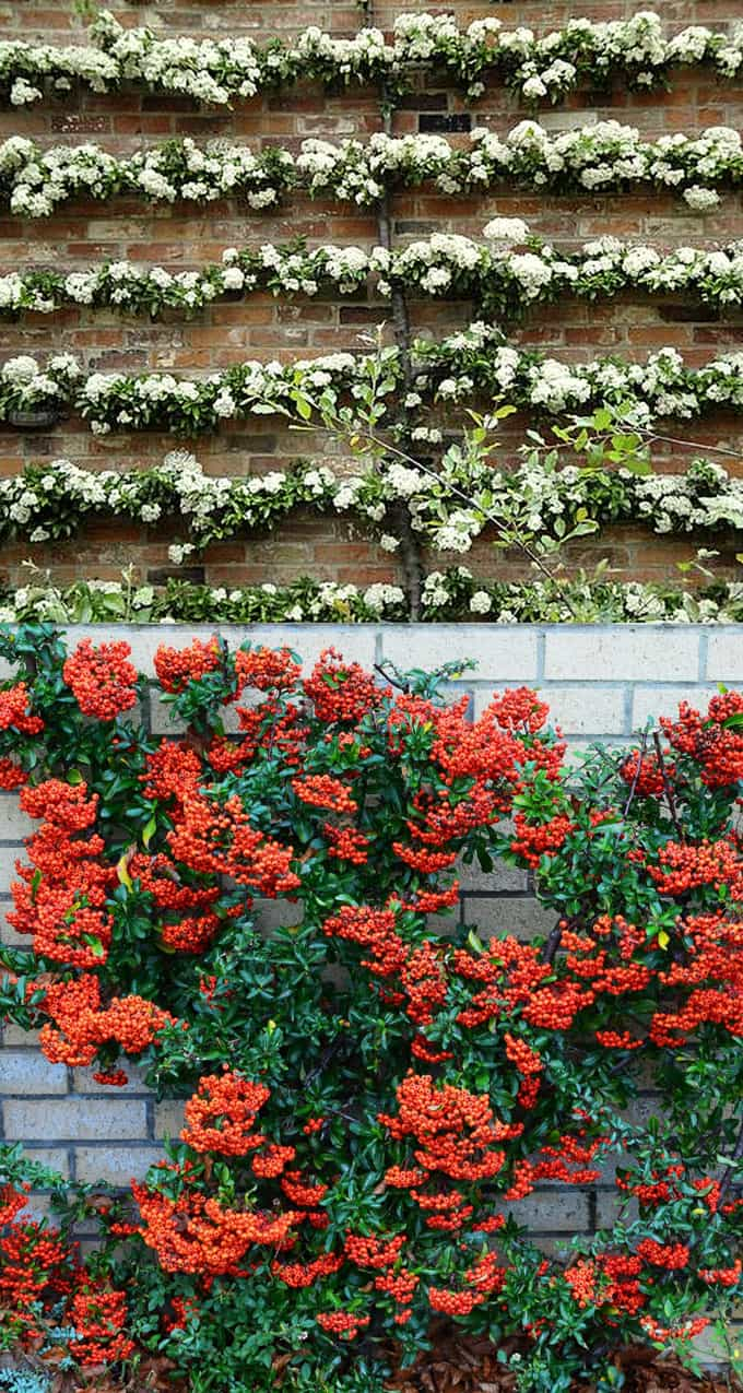 Pyracantha Is An Evergreen Vine Or Shrub That Can Be Trained On A Wall Column It Has Very Pretty White Flowers In Spring And Early Summer