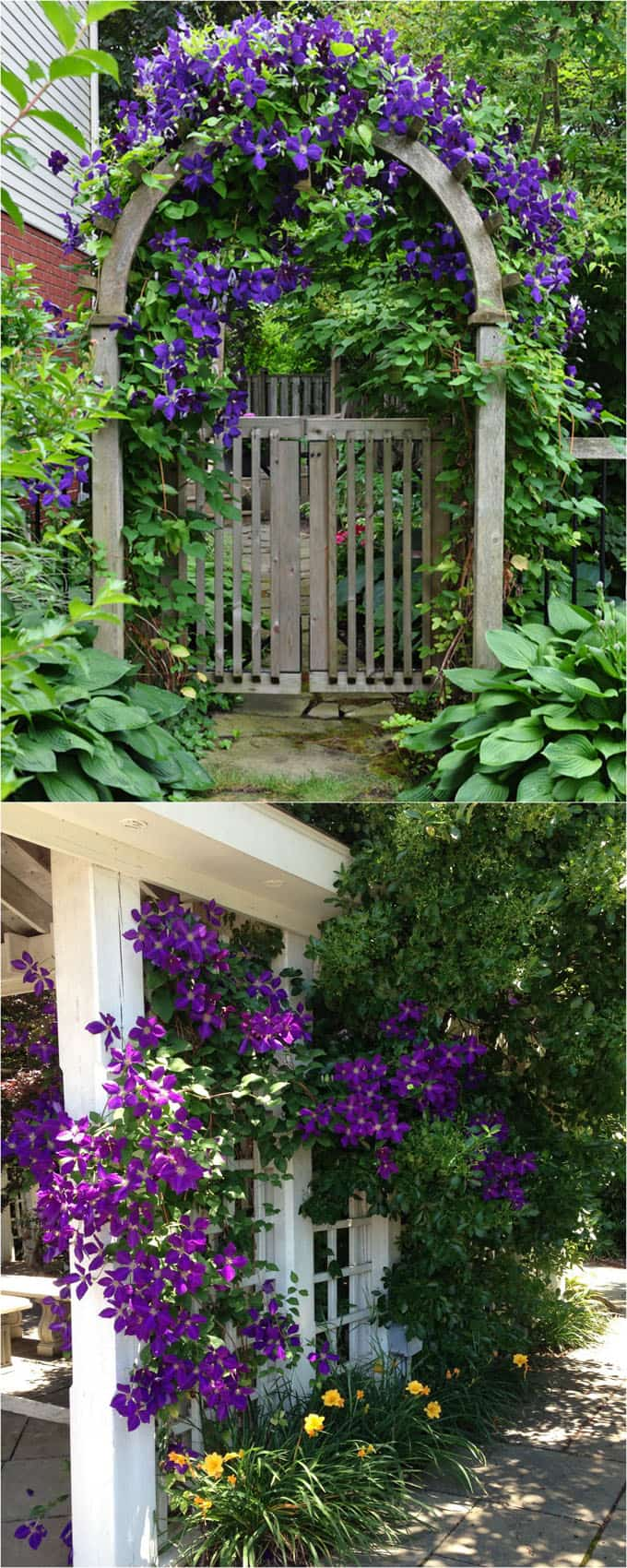 Clematis Is A Vigorous Vine Covered With Profusion Of Large Flowers In Almost Any Color You Desire Varieties That Bloom At Diffe Times Year