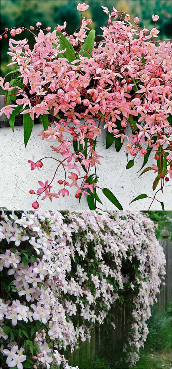 20 Favorite Flowering Vines For The Fence And Arbor