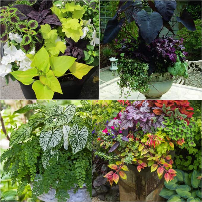 How to create beautiful shade garden pots using easy to grow plants with showy foliage and flowers.