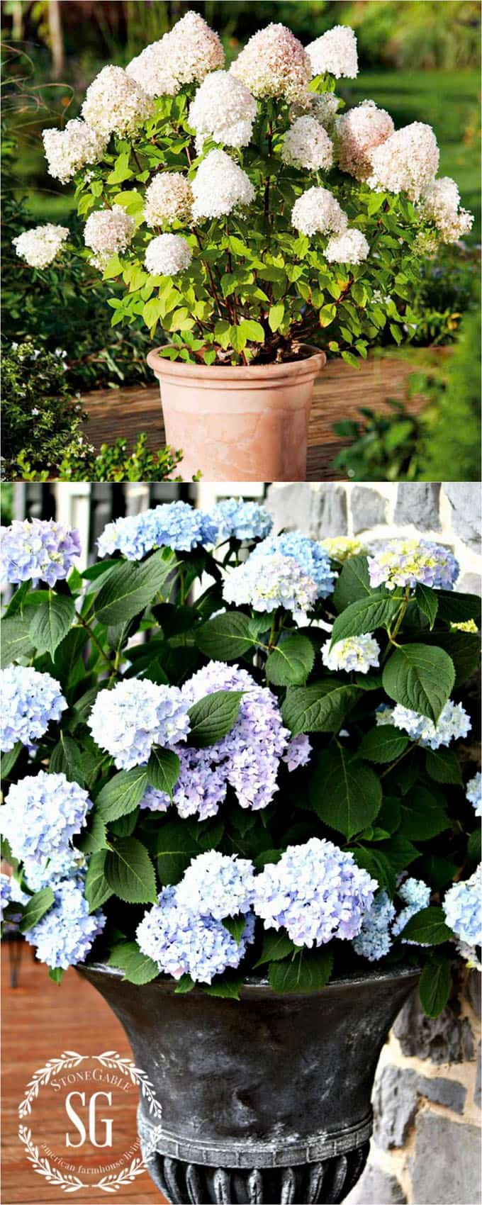 flowering planter pots with hydrangeas