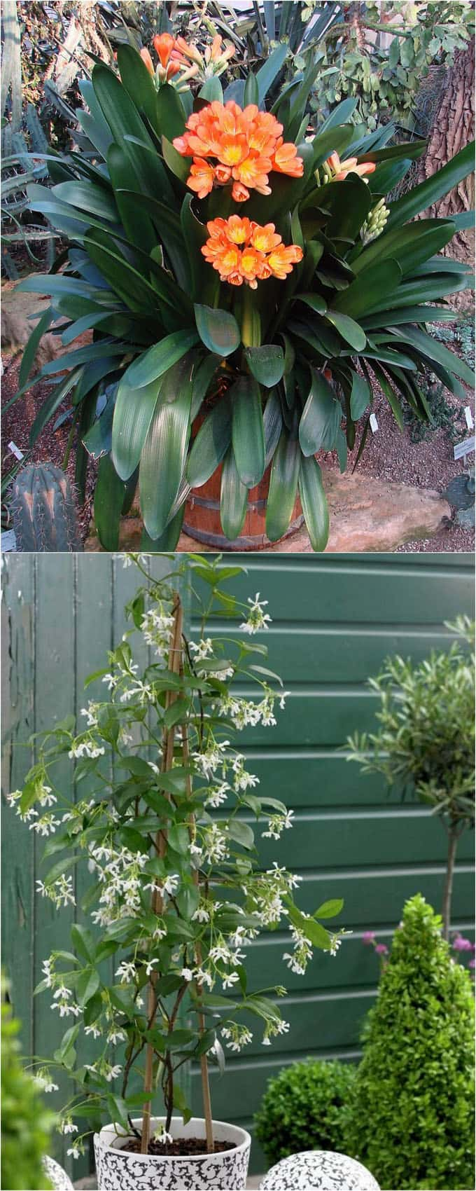 fragrant shade plants