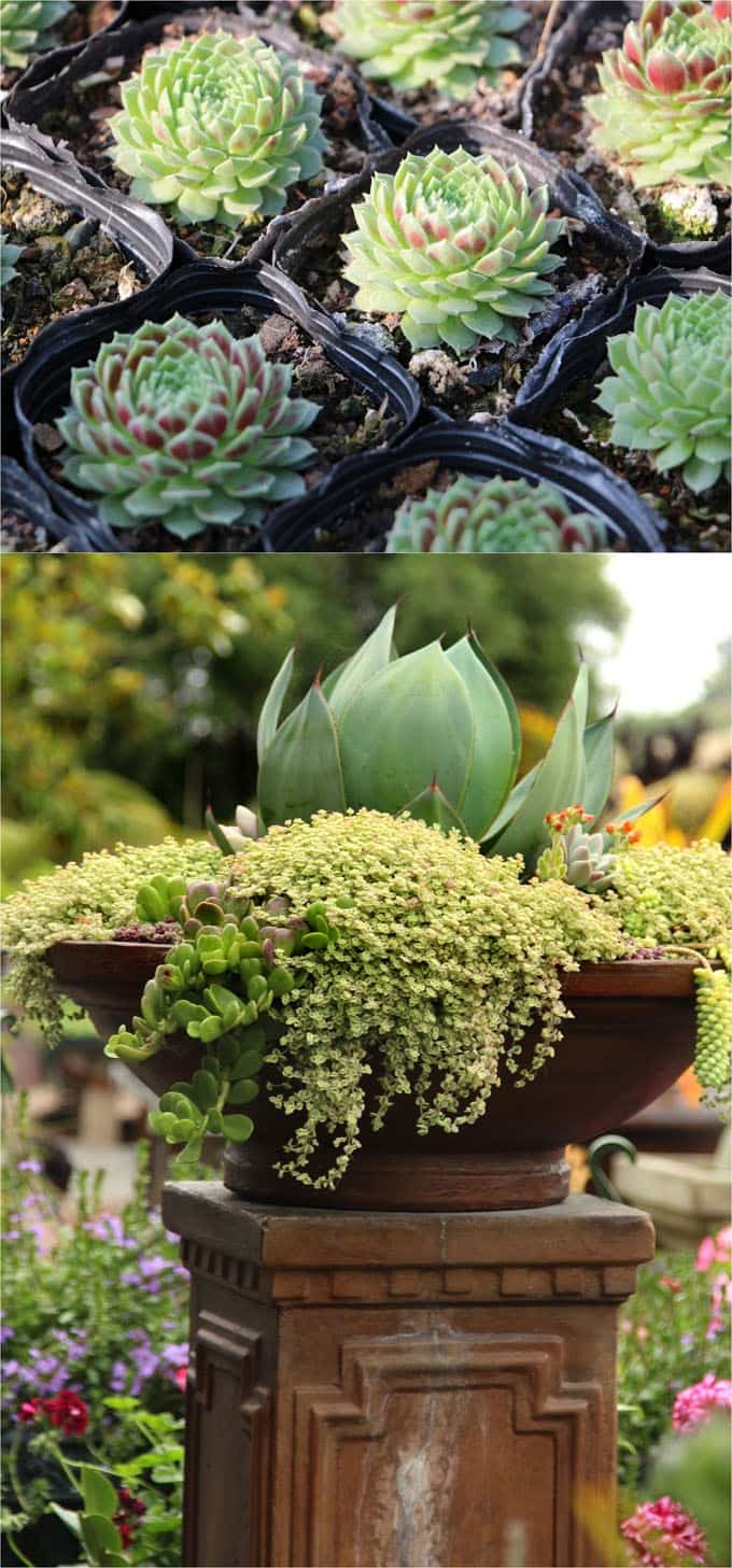 The Key To A Stunning Succulent Planter Is Have Enough Contrasts In Scales Colors And Textures