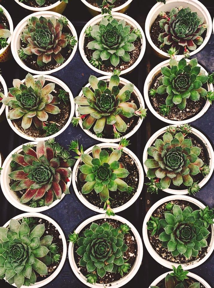 pots with Succulent soil mix