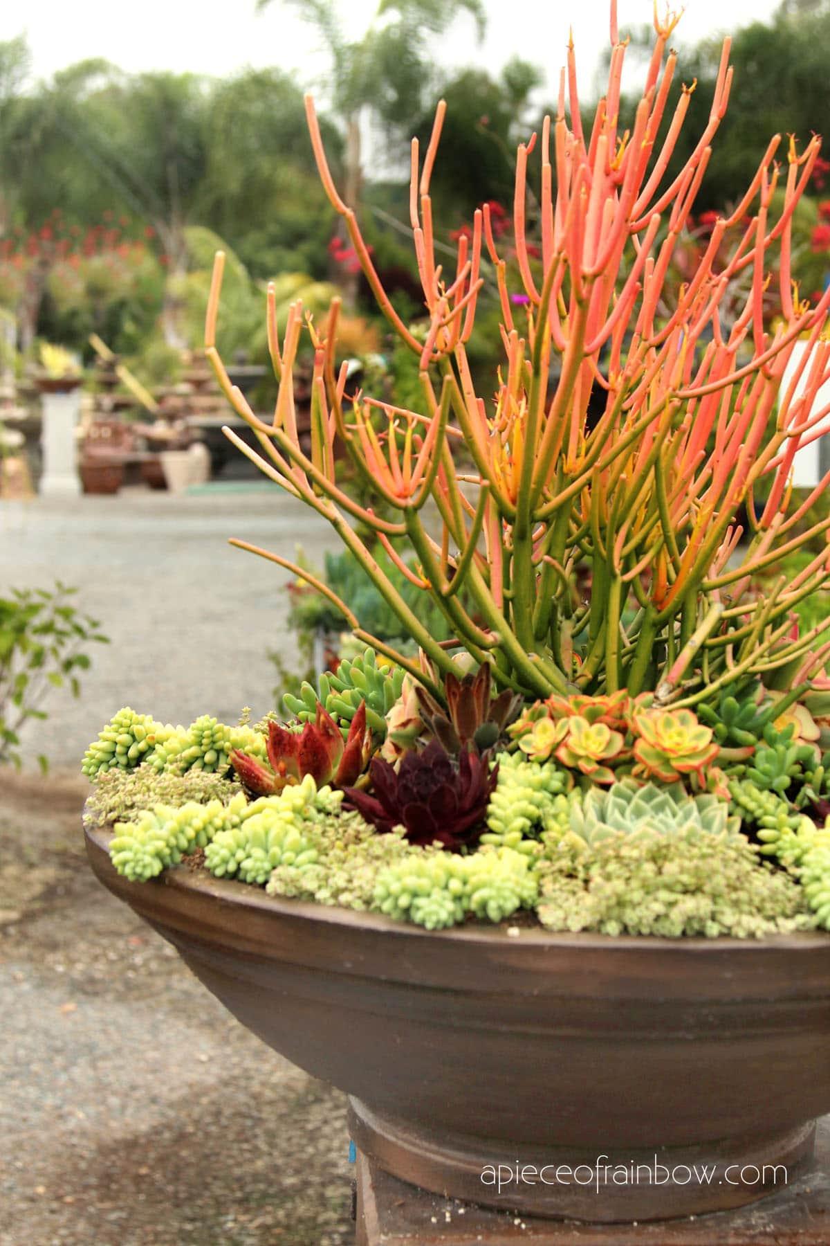 grow healthy succulents indoor or outdoor