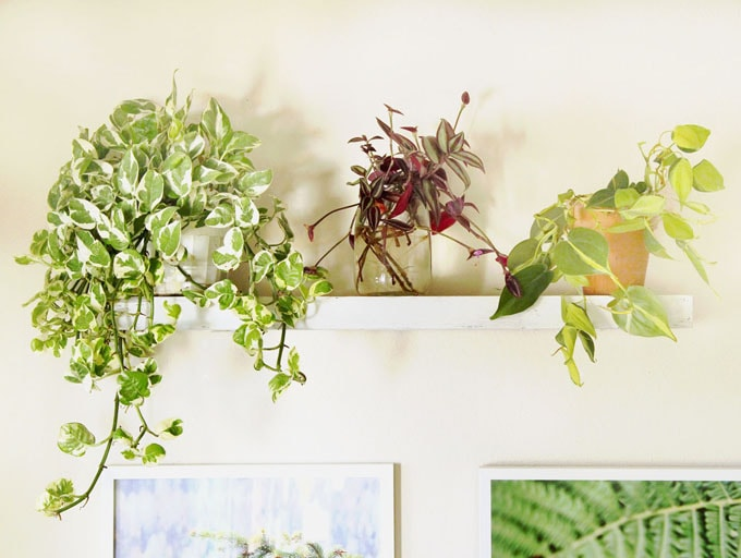 ... Thing About Growing Indoor Plants Is The Low Light Conditions Most  Spaces Have! These 3 Trailing House Plants Can Do Well In Low Light Or  Bright Light.