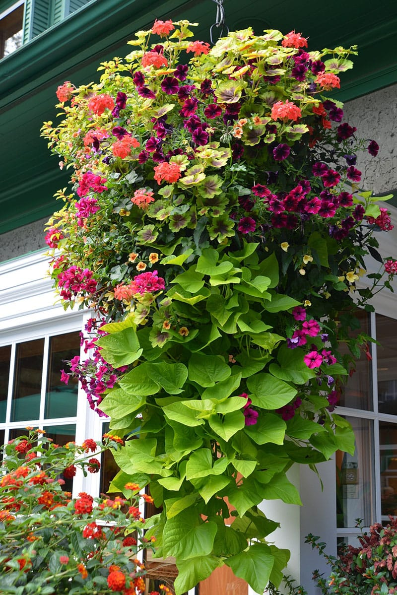 how to plant beautiful flower hanging baskets 20 best hanging basket plants a piece of. Black Bedroom Furniture Sets. Home Design Ideas
