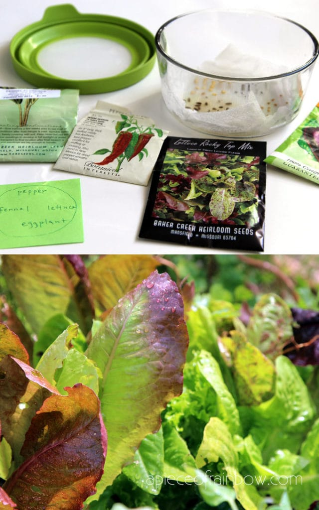 start lettuce seeds and plants