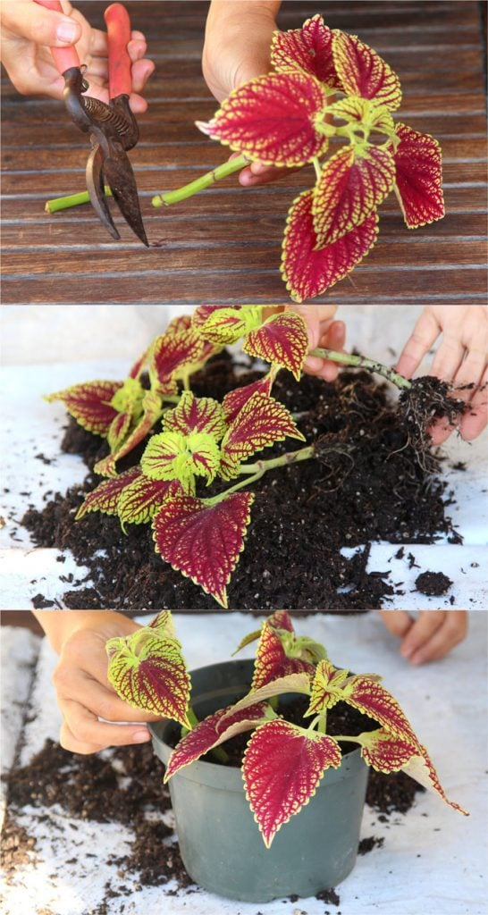 how to grow healthy Coleus: sun, shade, water, and soil requirements, and how to propagate Coleus from cuttings easily in 2 ways!