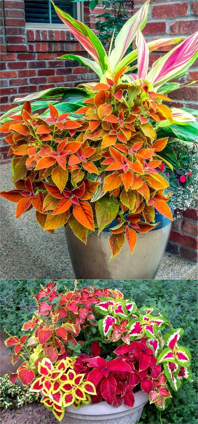 Coleus Lover S Guide Grow Tips Easy Propagation Beautiful