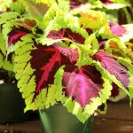 Detailed guide on how to grow healthy Coleus: sun, shade, water, and soil requirements, and how to propagate Coleus from cuttings easily in 2 ways! Plus beautiful Coleus varieties and inspirations on how to use them in a garden. - A Piece of Rainbow