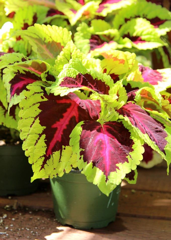 Coleus Can Drink A Lot Of Water It Loves Well Drained But Moist Potting Soil Give Regular Fertilize During Growing Season In Spring And Summer