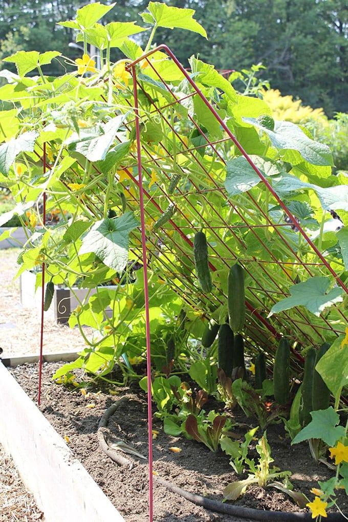 Easy cucumber trellis