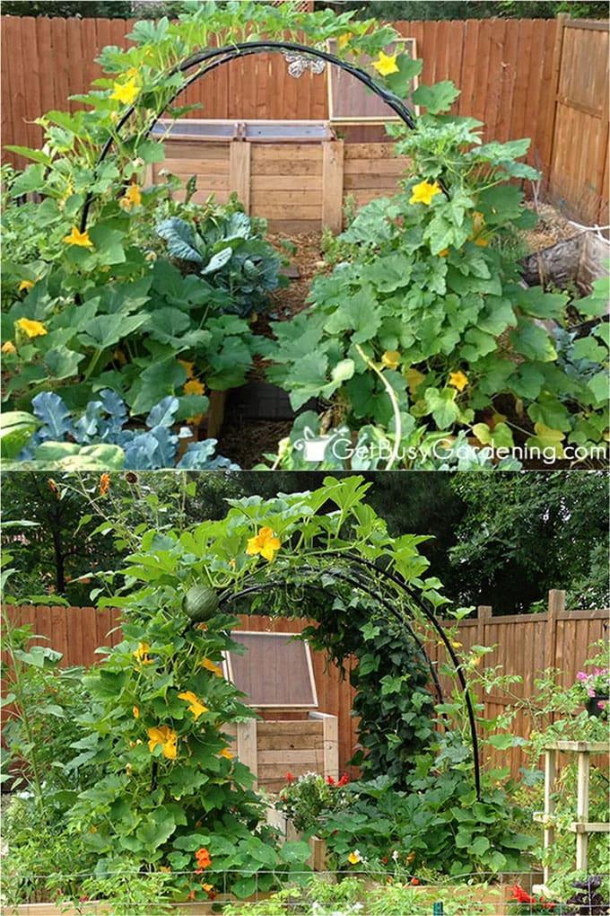 DIY Squash arch with PVC