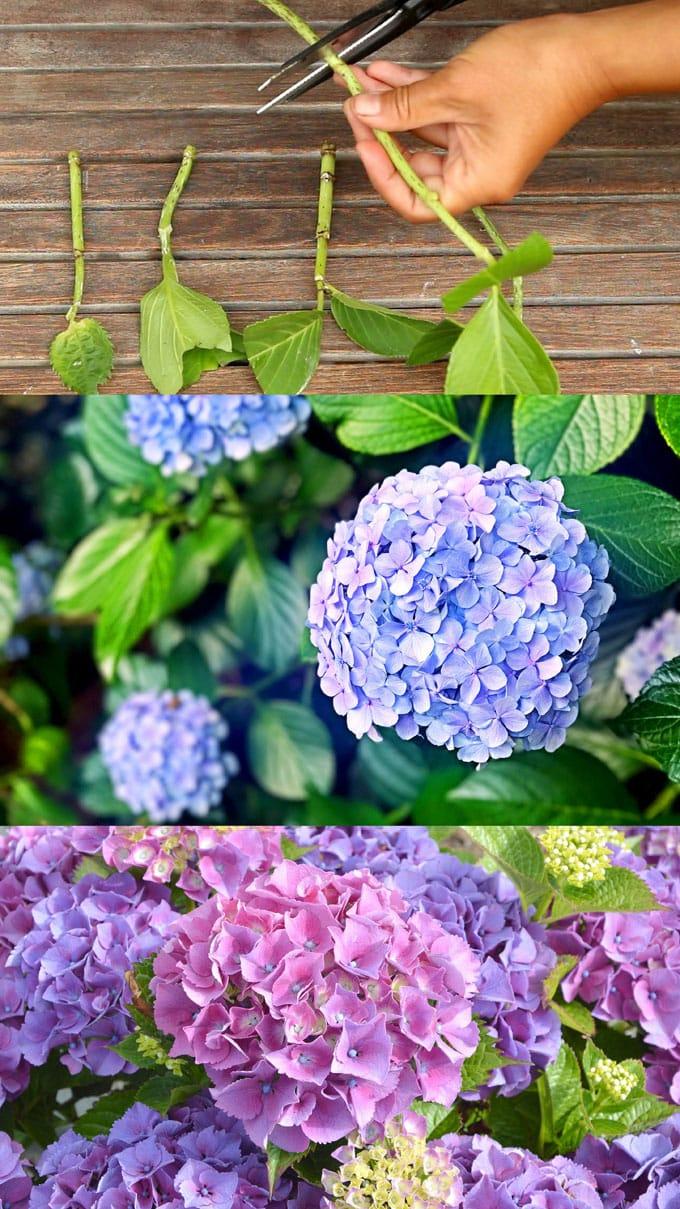 Hydrangea cuttings for propagation