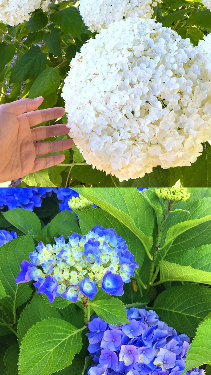 beautiful white and blue Hydrangea flowers in garden: Hydrangea macrophylla, and  Hydrangea arborescens