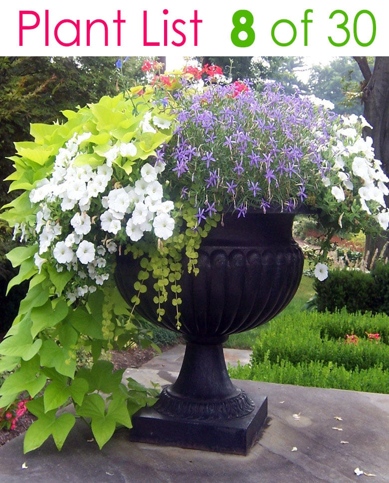 flower gardening in urn planter with blue and white flowers