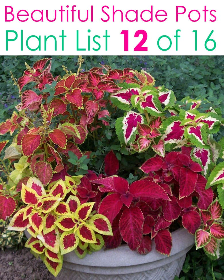 Colorful foliage shade loving plants
