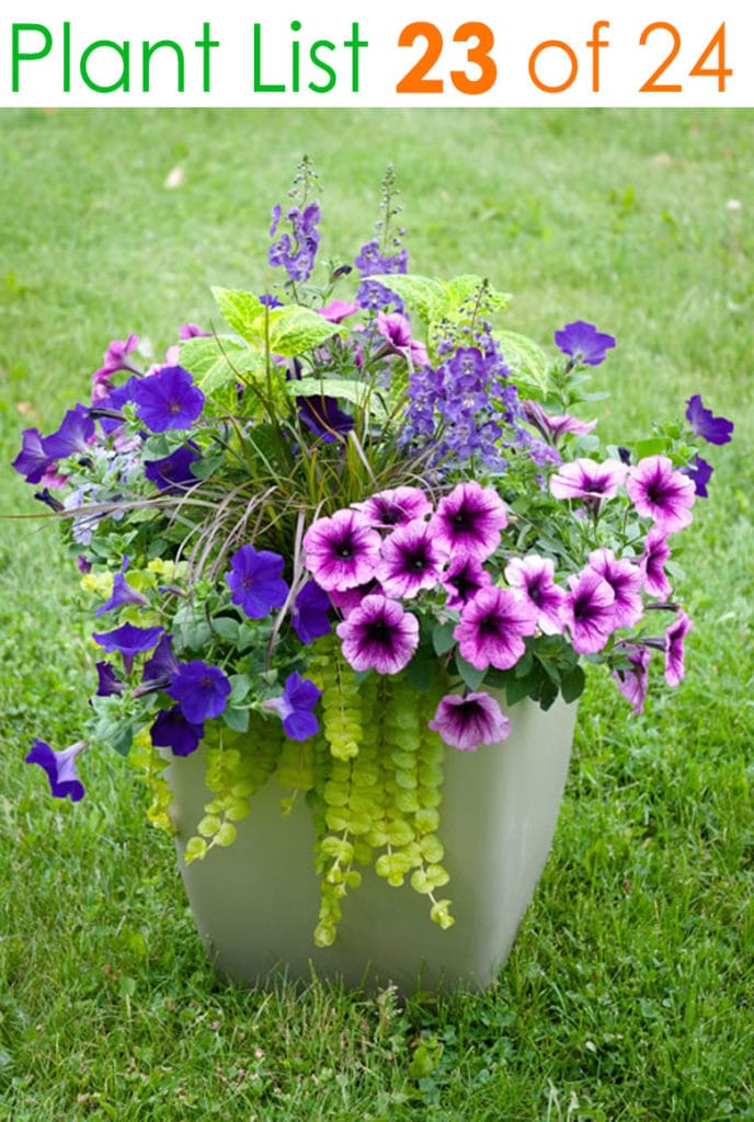 Purple and yellow container garden plants
