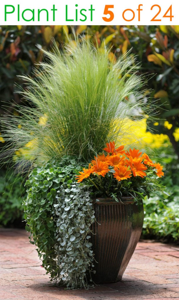 trailing plant and grass in tall planter pots