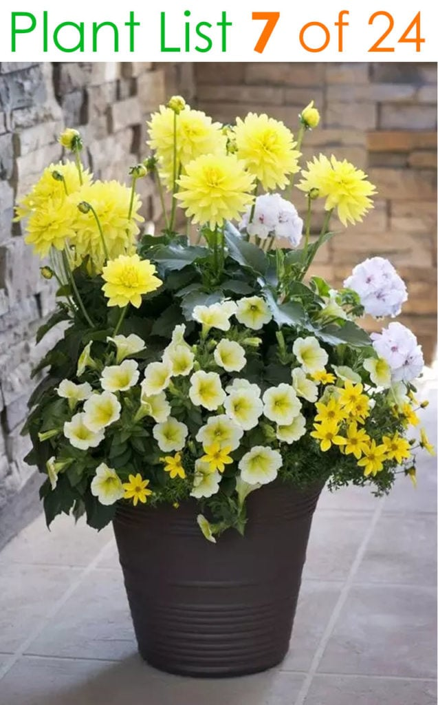 Mixed flower pot planting design in shades of yellow