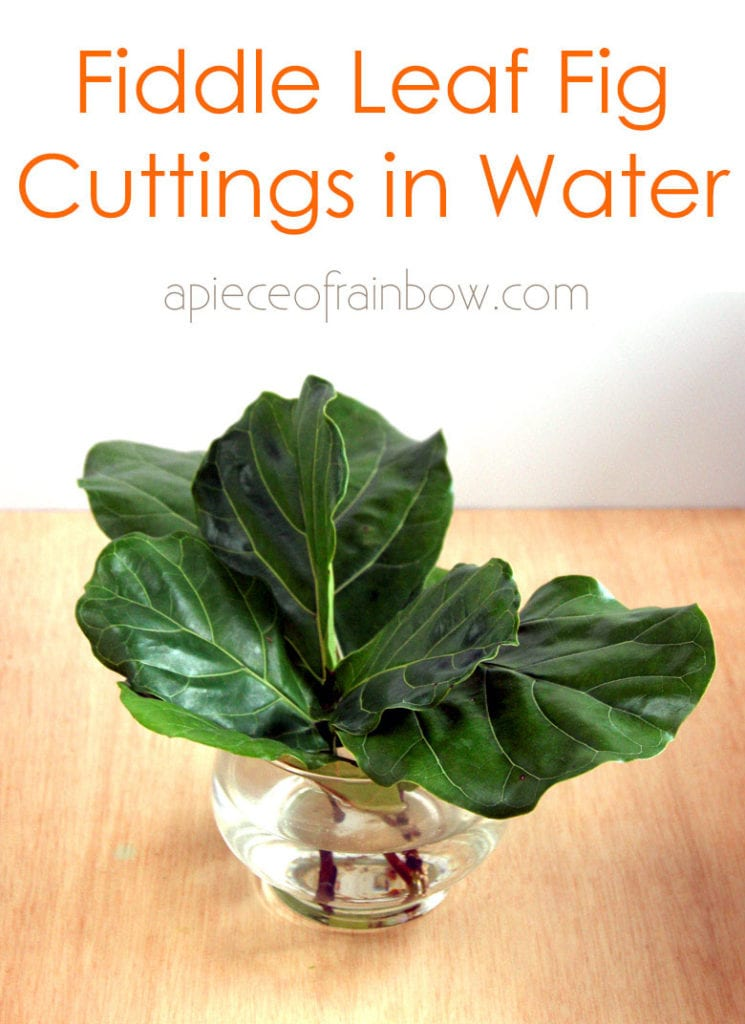 root Fiddle Leaf tree cuttings in water