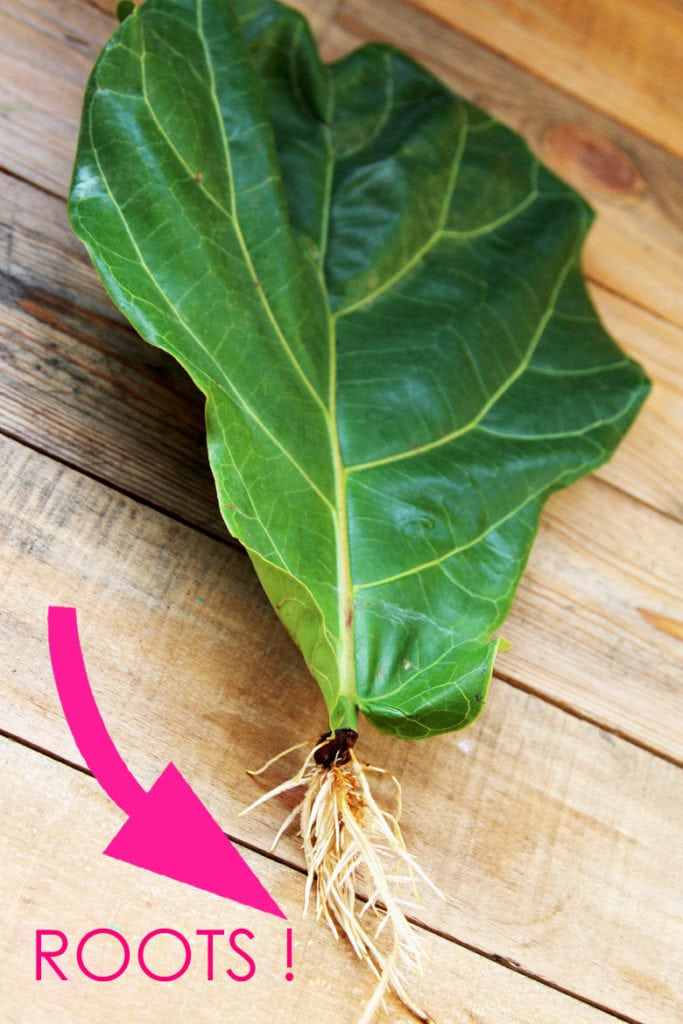fiddle fig roots growing on leaf