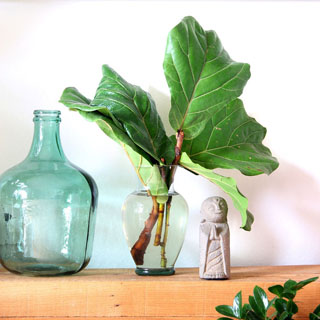 Fiddle Leaf Fig propagation in 2 easy ways with 100% success rate on all our stem cuttings! Lots of tips on how to multiply & grow FREE Fiddle Fig trees. – A Piece of Rainbow