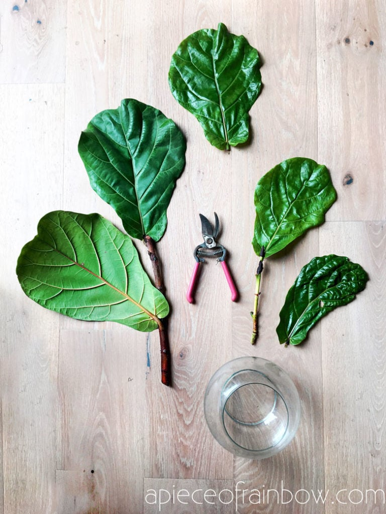 how to take Fiddle Leaf Fig cuttings
