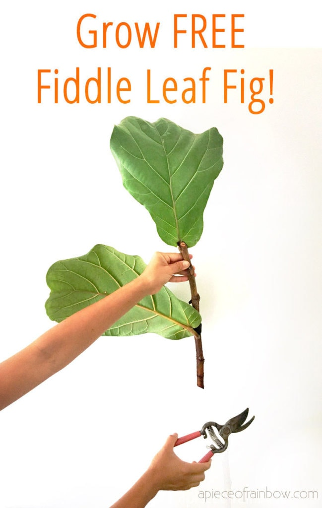 how to propagate Fiddle Leaf Fig trees from cuttings