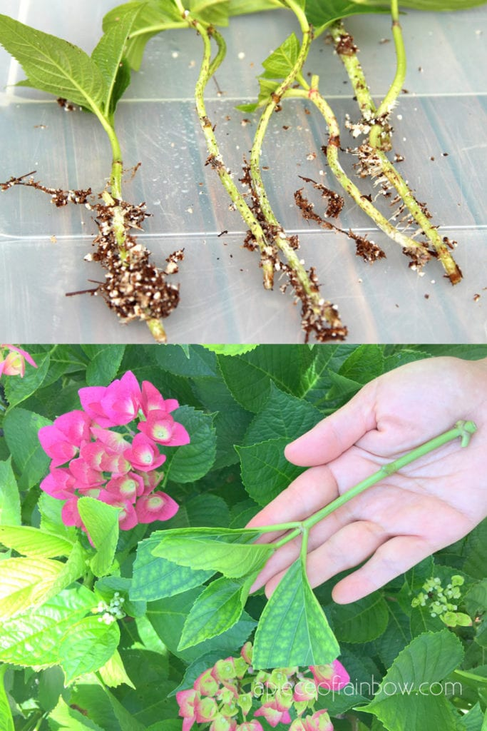 grow Hydrangeas from cuttings