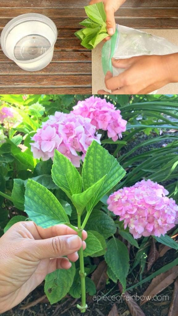 root Hydrangea plants  easily using rooting hormone powder