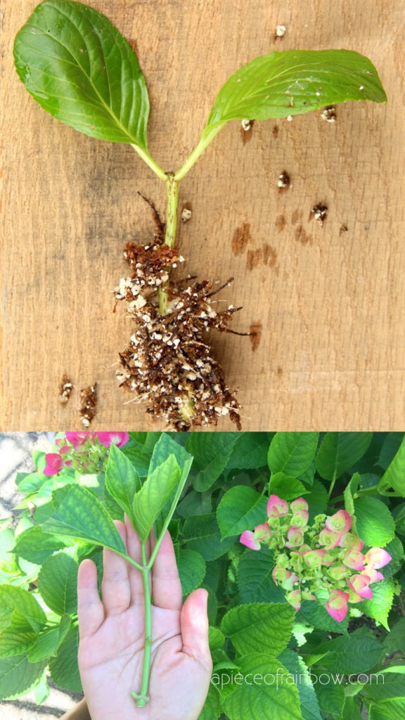 Propagated new Hydrangea cuttings with roots