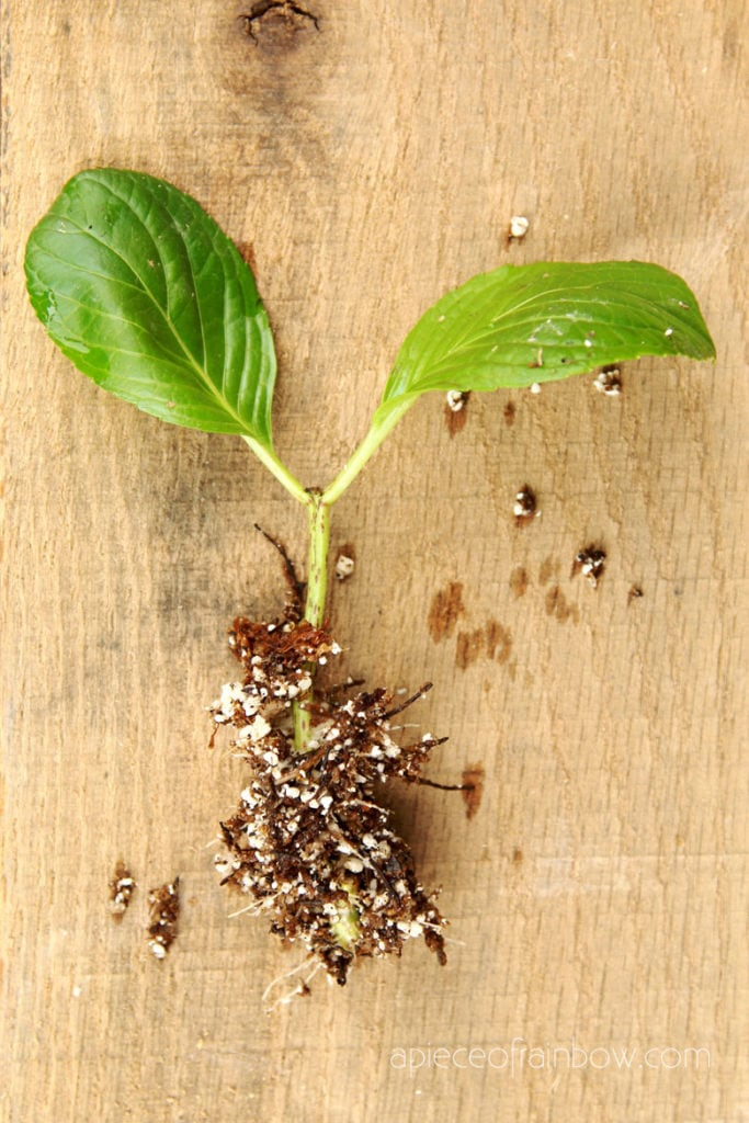 Hydrangea cuttings growing roots
