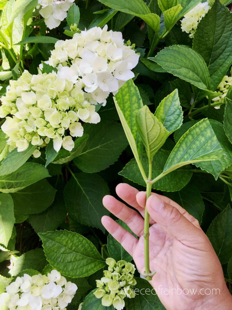 How to Propagate Hydrangeas from cuttings
