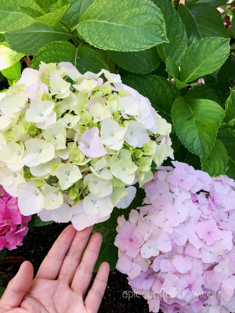 beautiful light pink Hydrangeas in garden
