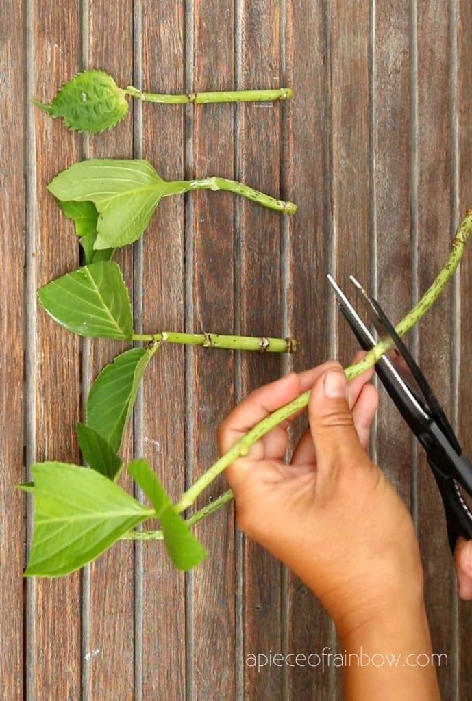cut leaves off Hydrangea stems
