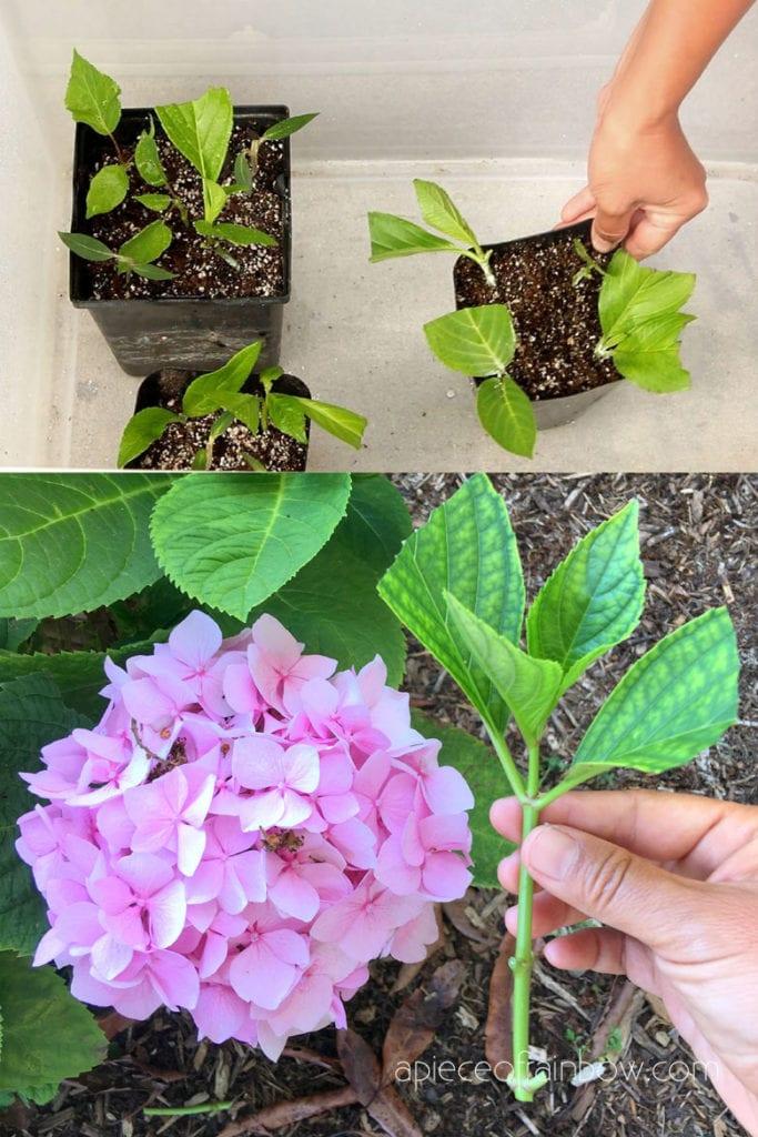 Hydrangea cuttings in DIY plastic bin humidity tent