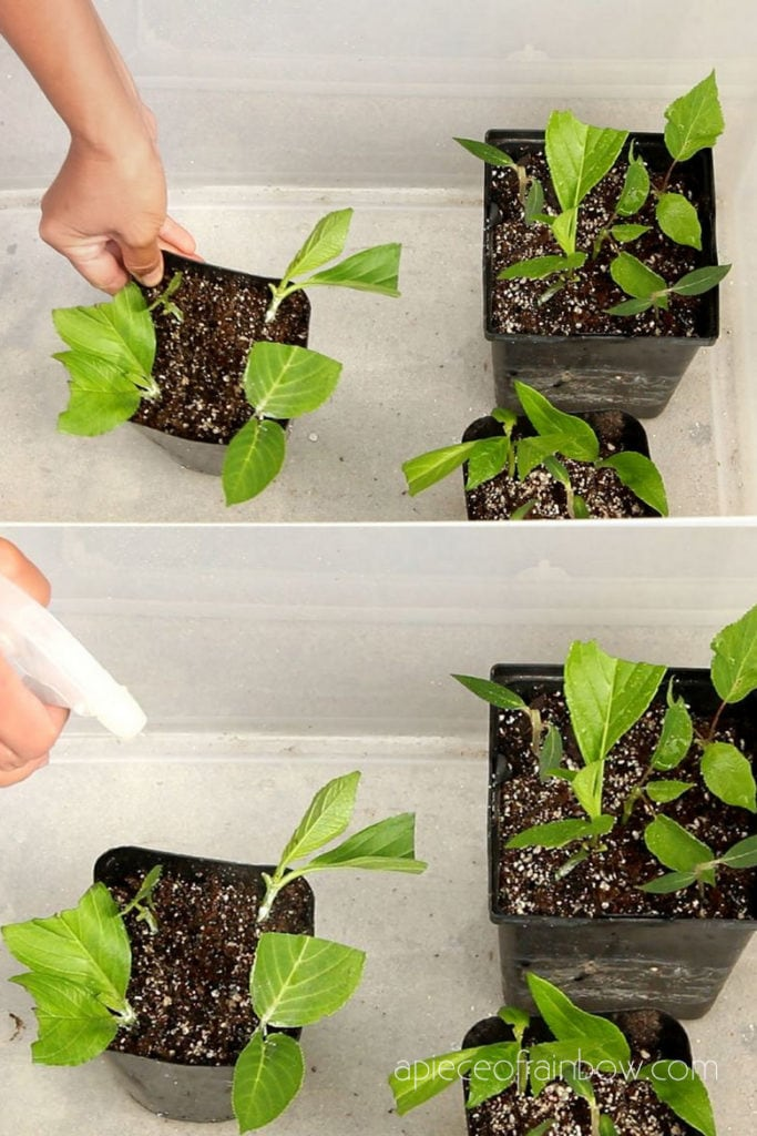 Propagate Hydrangea cuttings in  clear plastic bin with lid! This acts like a humid dome / mini greenhouse.