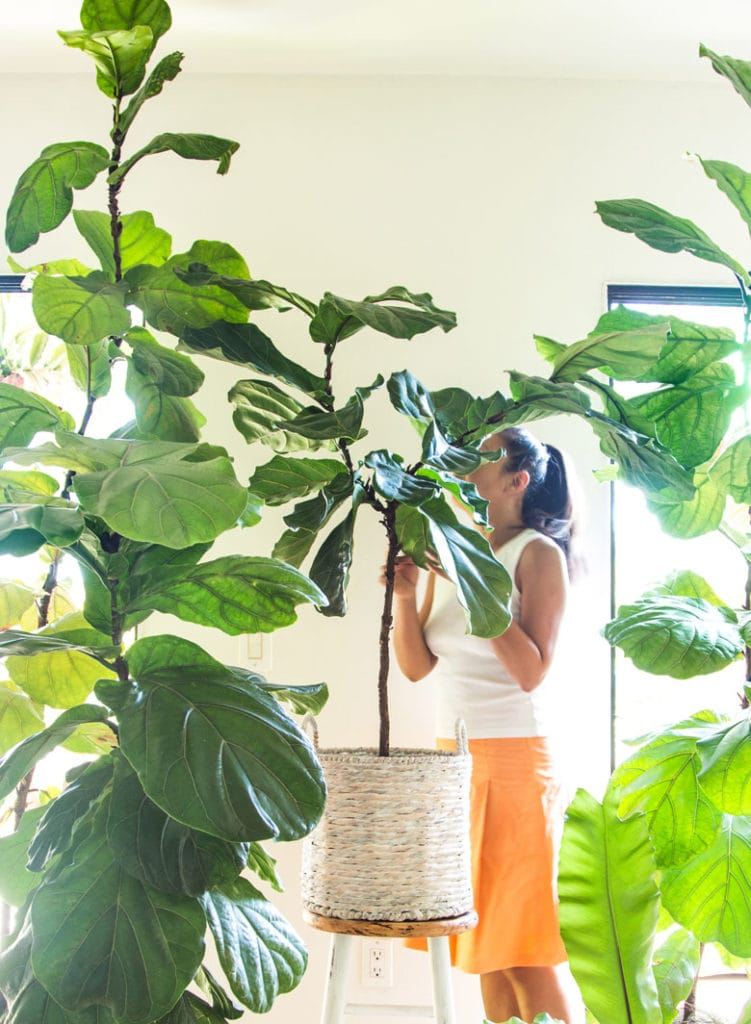 tall beautiful Fiddle Leaf Fig trees in living room