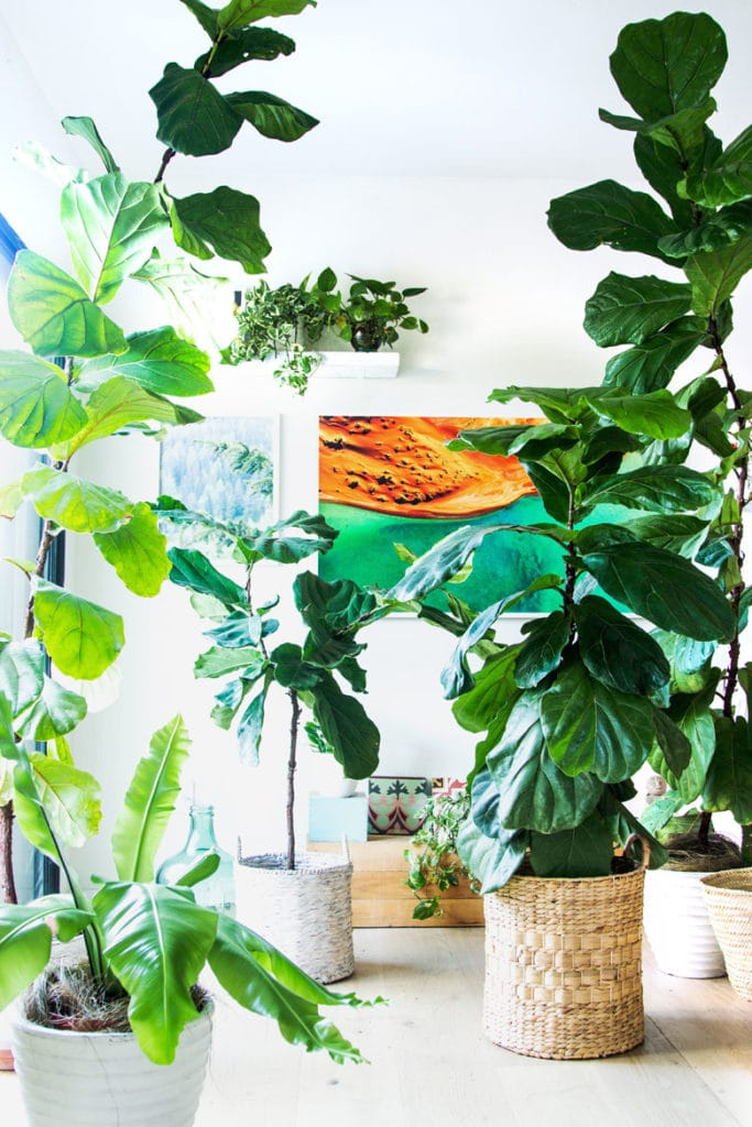 easy fiddle leaf fig care