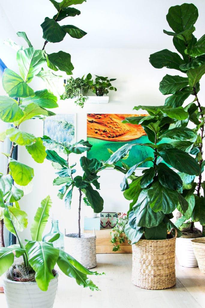 easy fiddle leaf fig care