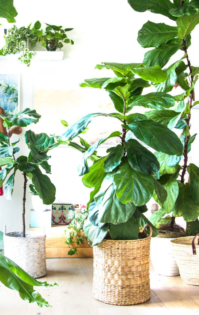 healthy Fiddle Leaf Fig trees grown with 5 care tips