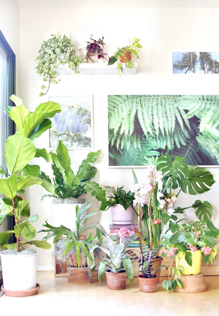 indoor plants with fiddle fig